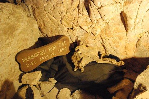 Ce lynx roux s'est retrouvé prisonnier des Grand Canyon Caverns il y a plus de 150 ans. La sécheresse de la grotte l'a littéralement momifié !