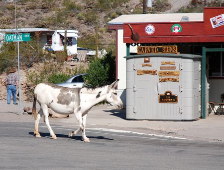 "Un des ""wild burros"" d'Oatman."
