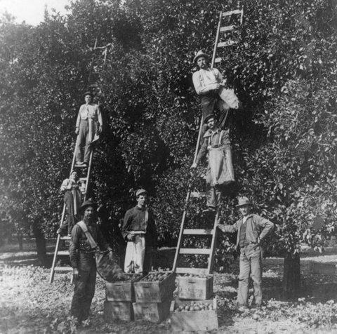 La cueillette des oranges près de San Bernardino en 1905 (© Library of Congress)